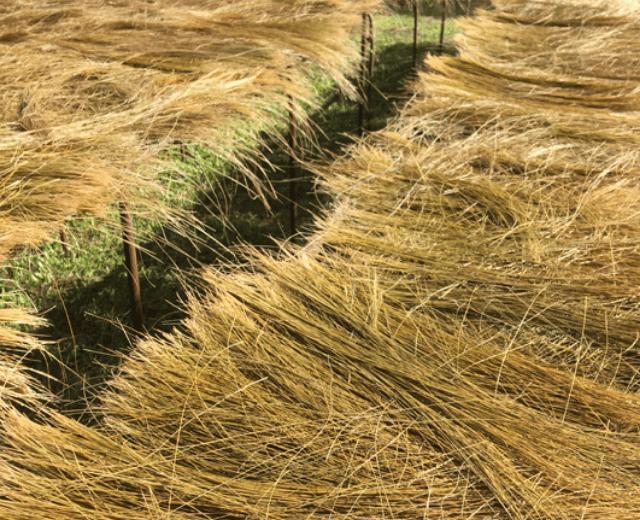 lutindzi séchage de l'herbe